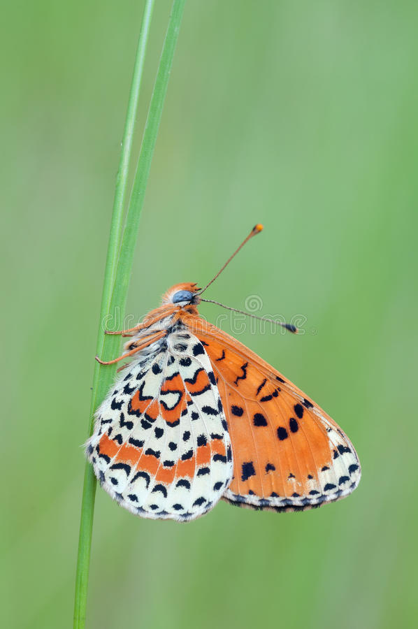 Download Melitaea Didyma Stock Photography - Image: 26079762