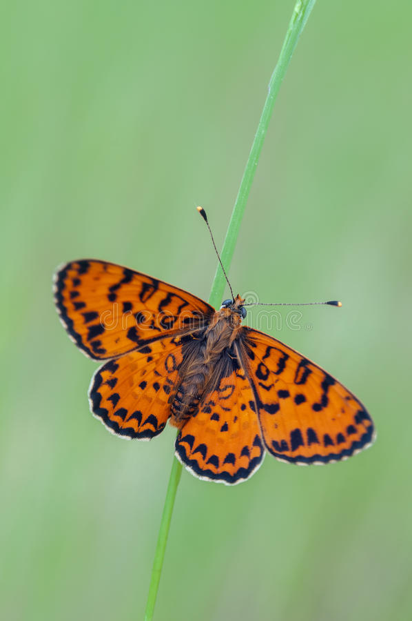 Melitaea didyma royalty free stock images