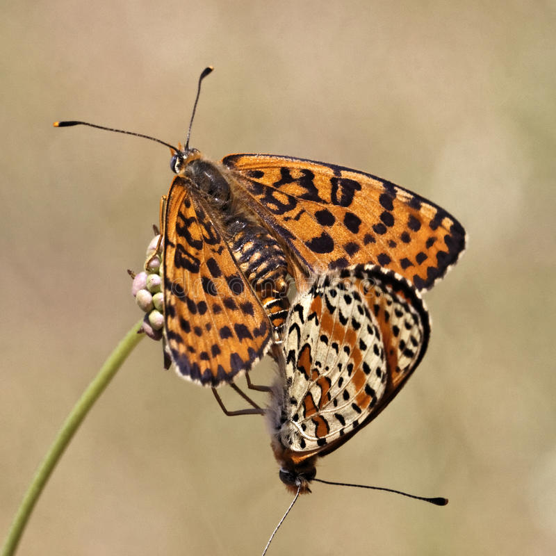 Melitaea didyma, Spotted Fritillary or Red-band Fritillary butterfly stock image