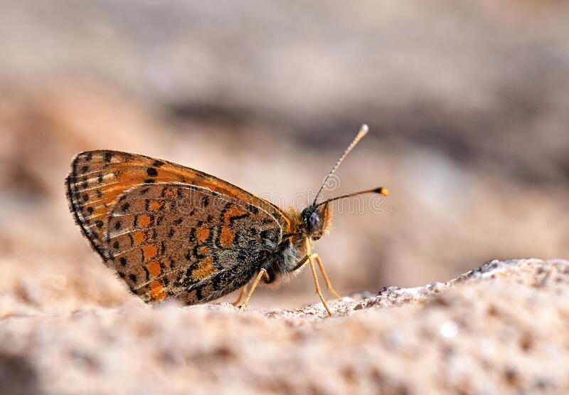 Melitaea saxatilis butterfly endemic to Iran , butterflies of Iran. The close up ventral closed wings photo of Melitaea saxatilis an endemic butterfly in Alborz stock photography