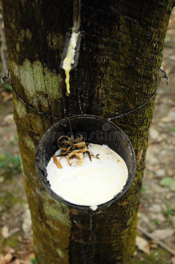 Melkachtig die latex uit rubberboom of a wordt gehaald K A Hevea Brasiliensis als bron van natuurrubber royalty-vrije stock fotografie