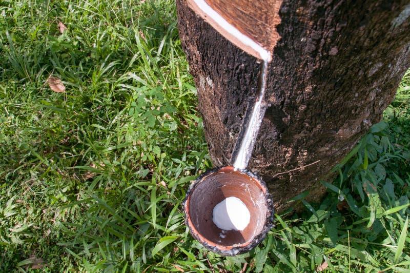 Melkachtig latex dat uit rubberboom wordt gehaald royalty-vrije stock foto