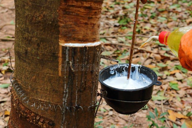 Melkachtig latex dat uit rubberboom wordt gehaald royalty-vrije stock fotografie