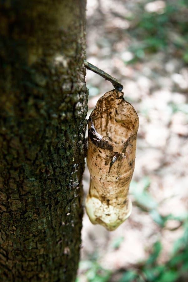 Melkachtig latex dat uit rubberboom wordt gehaald stock foto
