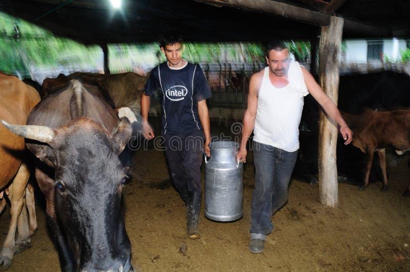Melkend koeien - Colombia stock afbeelding