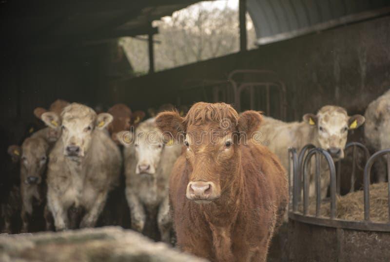 Melkkoeien in koeiestal stock foto