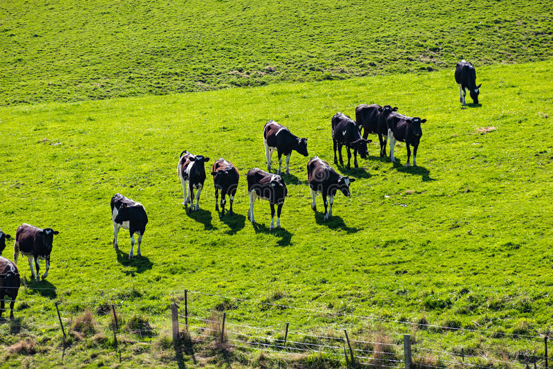 Melkveehouderij ergens in Nieuw Zeeland stock afbeelding