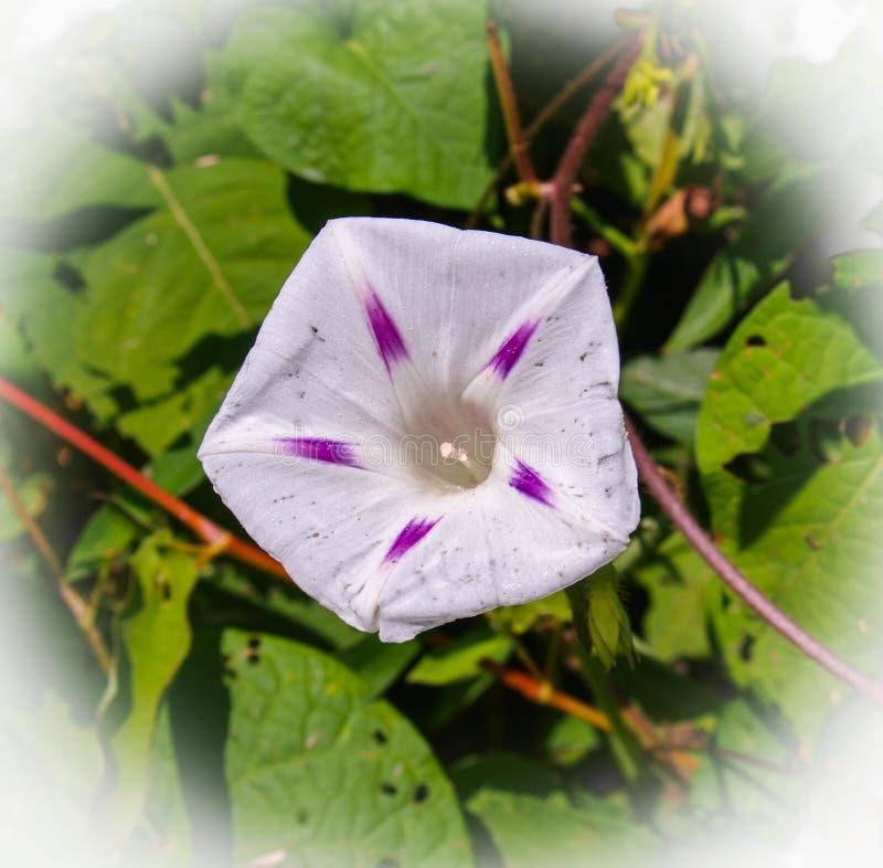 Melkwegochtend Glory Flower stock afbeelding