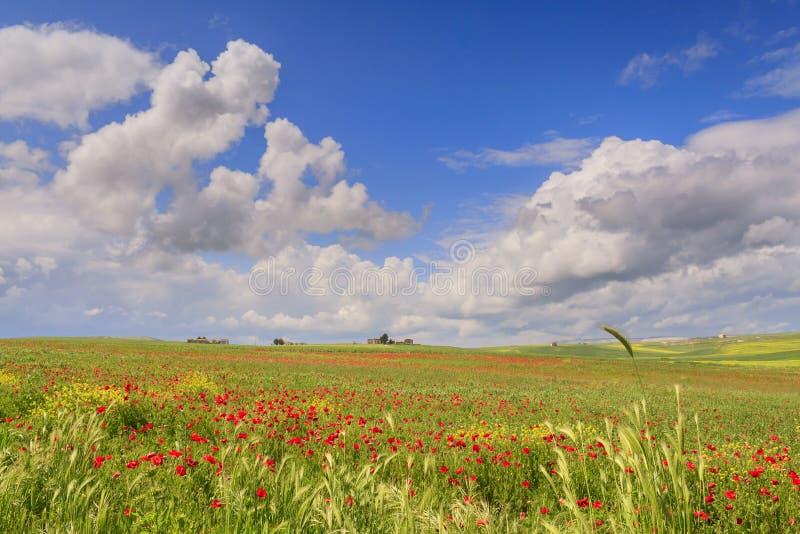Mellan Apulia och Basilicata Vernal lantligt landskap med vetefältet och vallmo italy royaltyfri foto