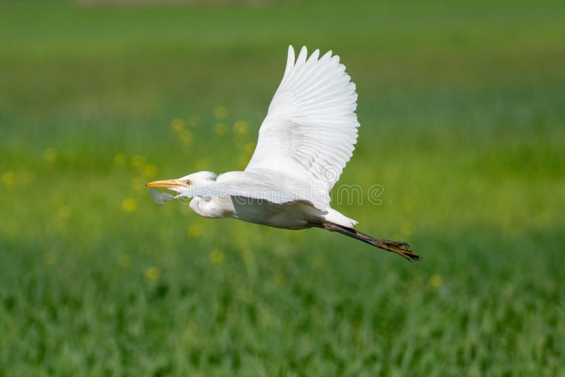 Mellanliggande egret& x27; s-flyg royaltyfria foton