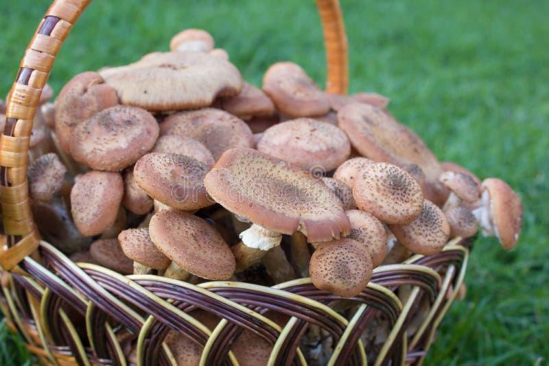 Mellea Armillaria корзины, полная корзина меда грибов конец-вверх стоковая фотография