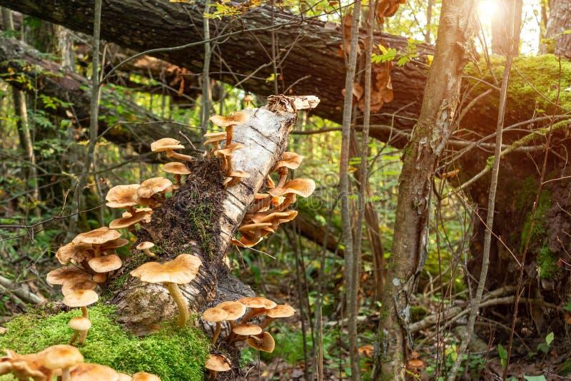 Mellea comestible d'armillaria d'agaric de miel de champignons sur un tronc d'arbre tombé dans l'image de forêt d'automne tôt le  image stock