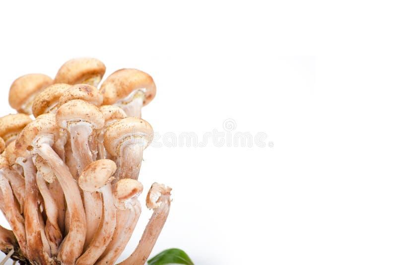 Mellea d'Armillaria photos stock