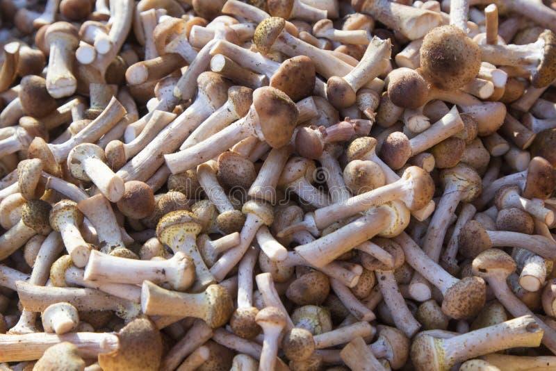 Mellea d'Armillaria d'agaric de miel de champignons images libres de droits