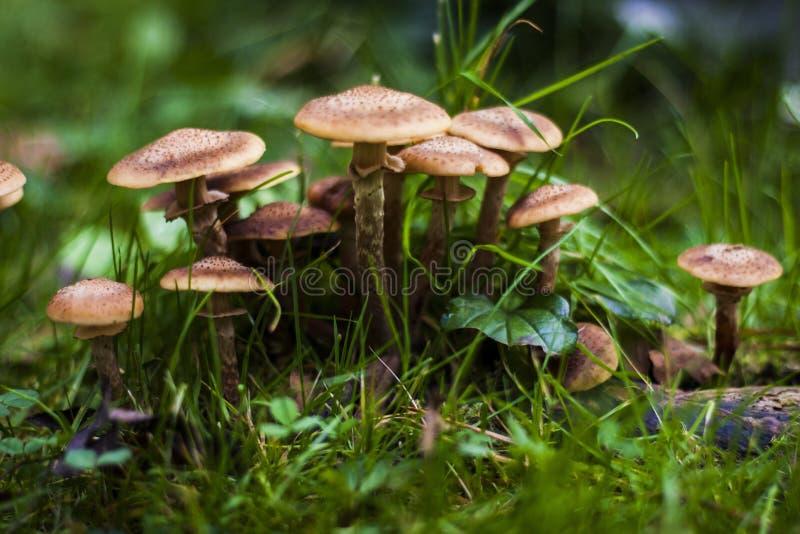 Mellea do Armillaria dos cogumelos fotos de stock