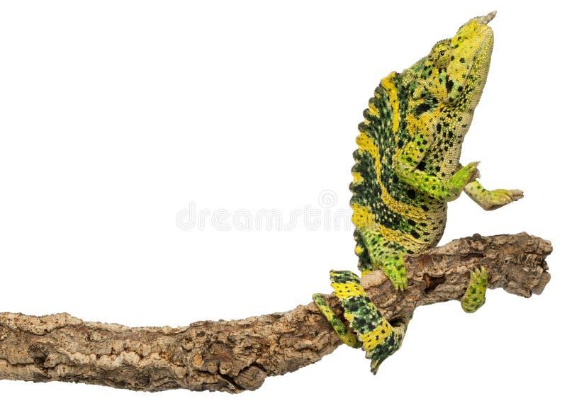 Download Meller's Chameleon, Giant One-horned Chameleon Stock Photo - Image: 21062356