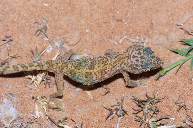 Mellersta - östlig Kort-fingrad gecko & x28; Stenodactylus doriae& x29; royaltyfria foton