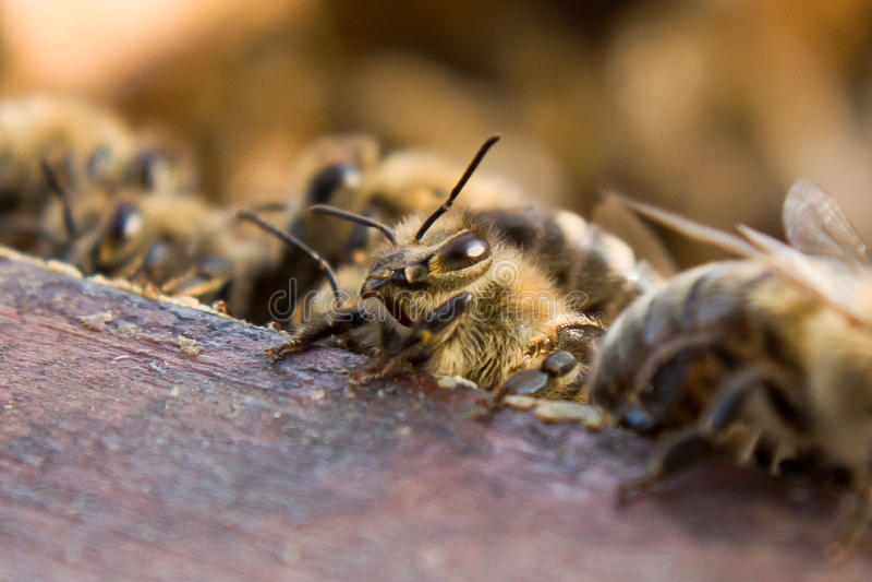 Mellifera da abelha/Apis imagem de stock royalty free
