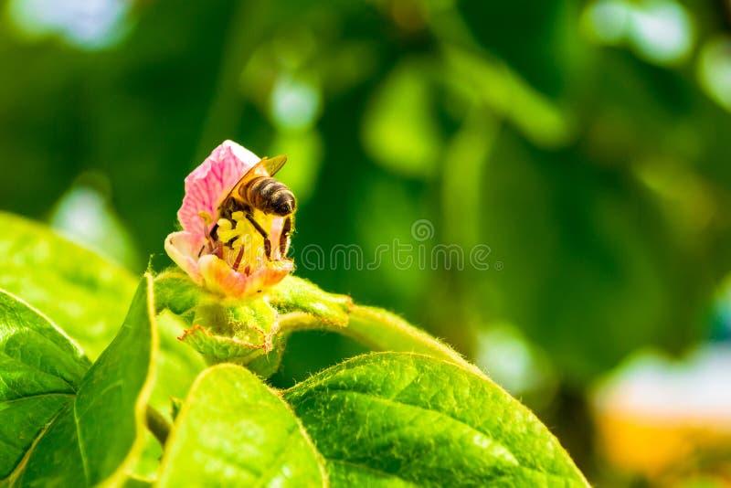 Mellifera occidental de los Apis de la abeja de la miel dentro de una flor rosada del membrillo, con su picadura posterior hacia  imagen de archivo