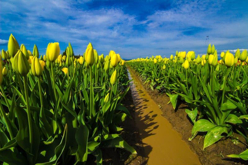 Mello Yello. Yellow tulips just beginning to bloom at a tulip farm in Mount Vernon Washington stock photos