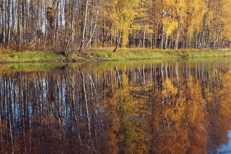 Mellow autumn. Birch with yellow leaves. Natural background. Mellow autumn. Birch with yellow leaves reflected in the river. Natural background stock image