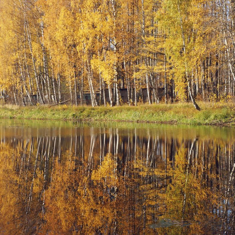 Mellow autumn. Birch with yellow leaves reflected in the river. Natural background stock photo