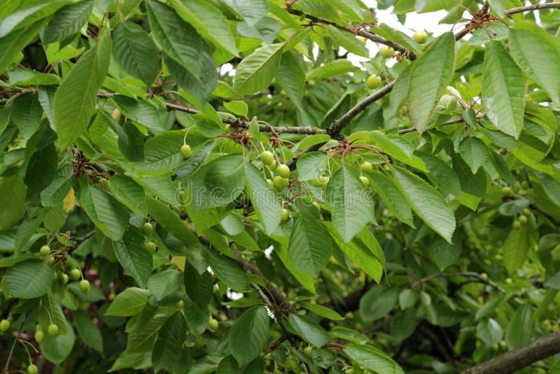 Mellowing вишни стоковое изображение