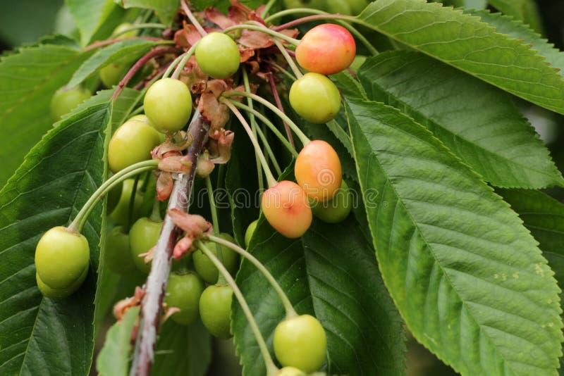 Mellowing вишни стоковые фотографии rf