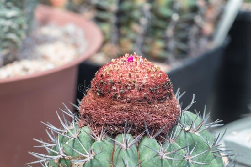 Melocactus en el jardín fotos de archivo