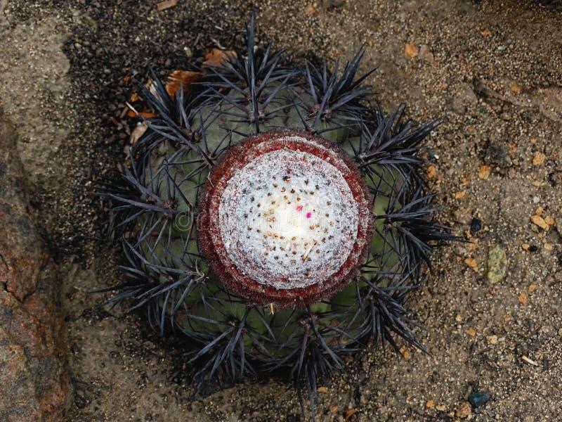 Melocactus peruviana obraz royalty free