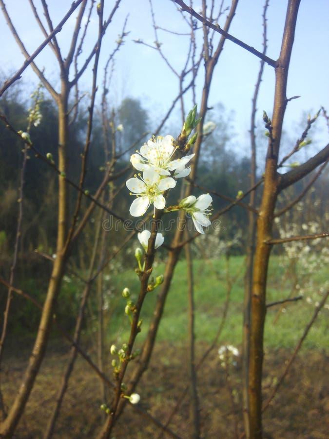 Melocotón blanco floreciente de la primavera libre illustration