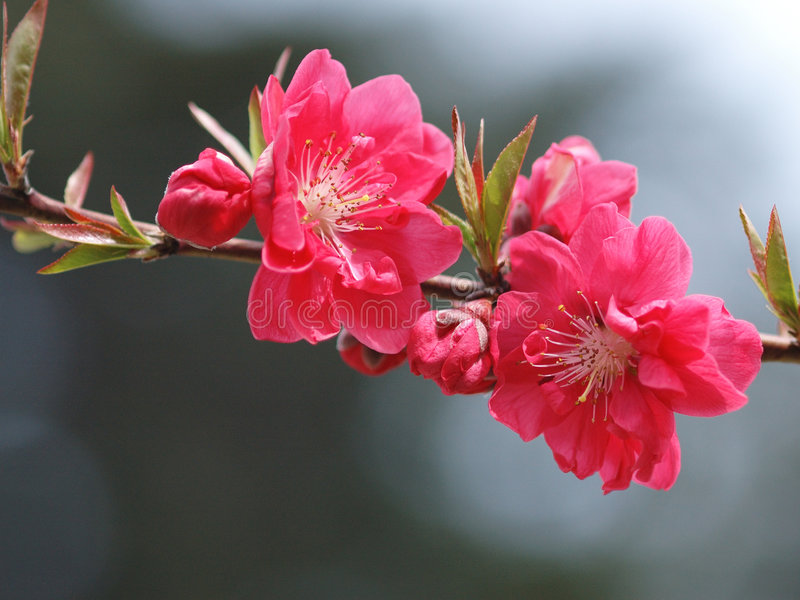 Melocotón blossom-0003 foto de archivo