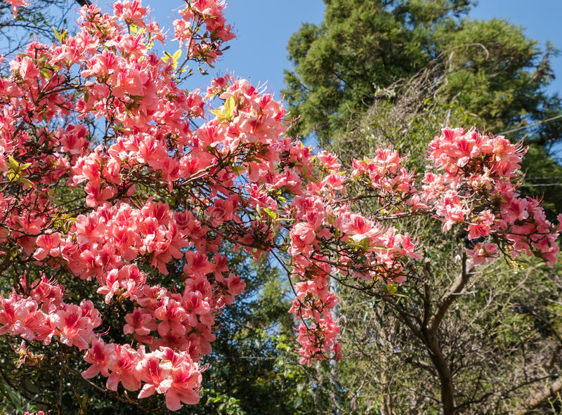 Melocotón carmesí Sakura, flores de la flor de cerezo de Nara foto de archivo libre de regalías