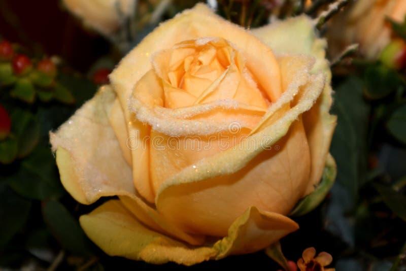 Melocotón color de rosa del invierno fotografía de archivo libre de regalías