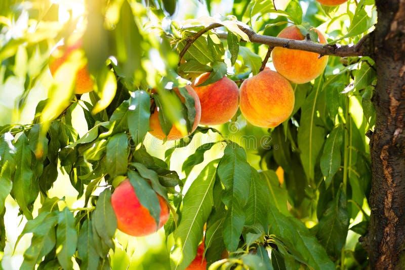 Melocotón maduro fresco en árbol en huerta del verano imagenes de archivo