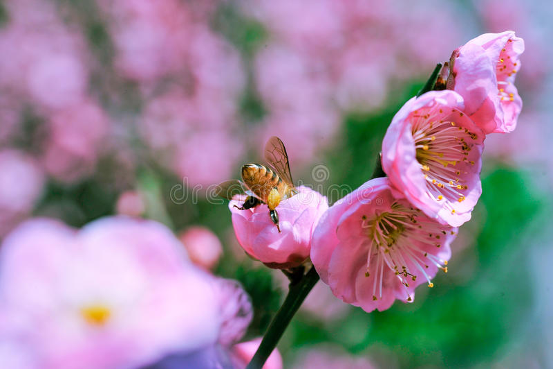 Melocotón y abejas imagen de archivo libre de regalías