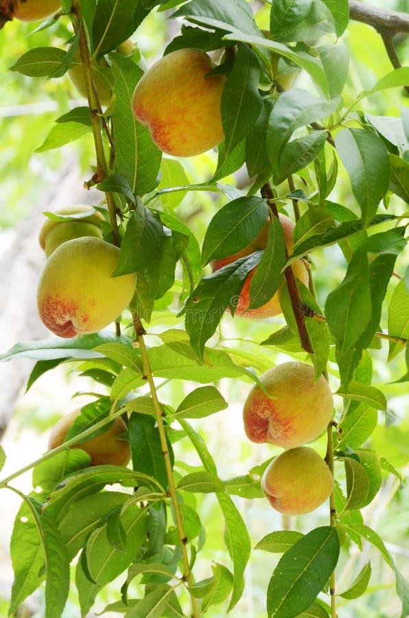Melocotones jugosos dulces en un árbol de melocotón imagen de archivo