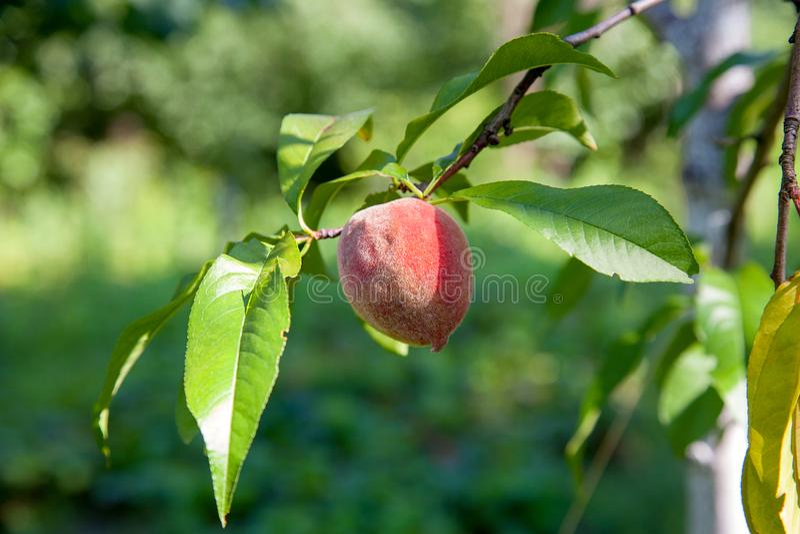 Melocotones jugosos maduros en una rama de árbol en día de verano soleado imagenes de archivo