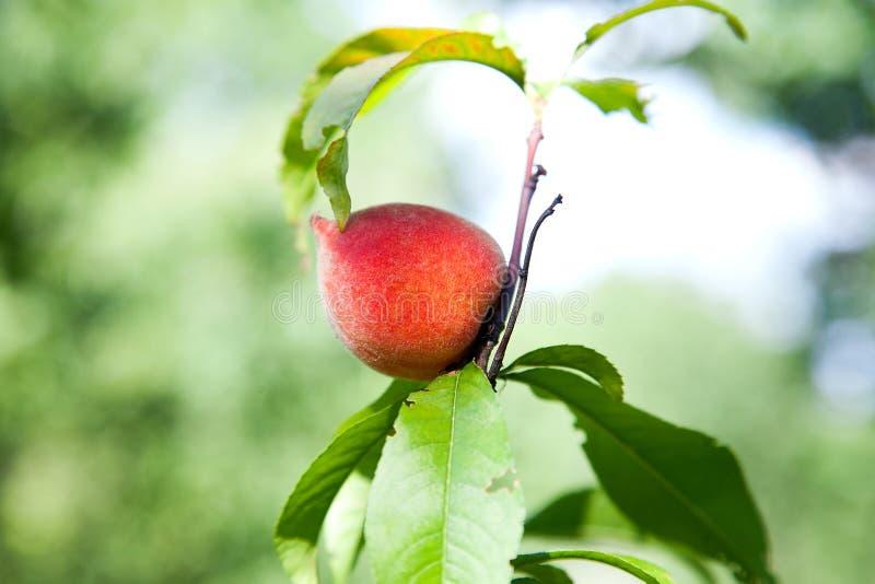 Melocotones jugosos maduros en una rama de árbol en día de verano soleado imágenes de archivo libres de regalías