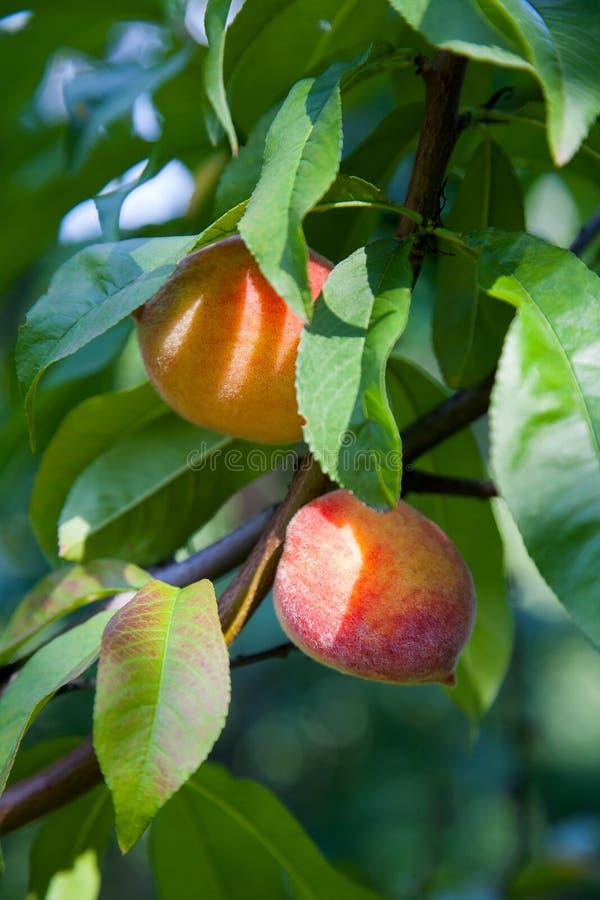 Melocotones jugosos maduros en una rama de árbol en día de verano soleado fotografía de archivo libre de regalías