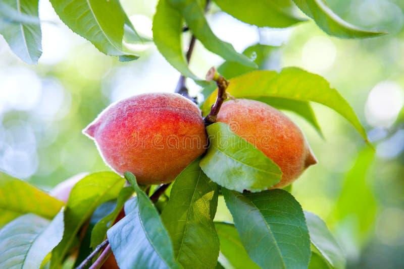 Melocotones jugosos maduros en una rama de árbol en día de verano soleado fotografía de archivo