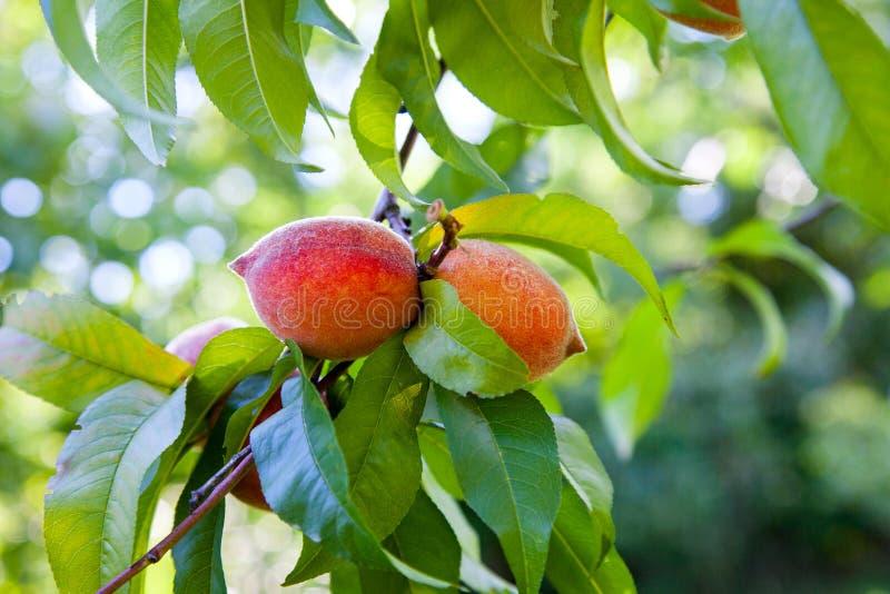 Melocotones jugosos maduros en una rama de árbol en día de verano soleado fotos de archivo libres de regalías