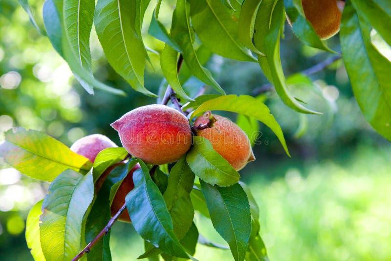 Melocotones jugosos maduros en una rama de árbol en día de verano soleado foto de archivo