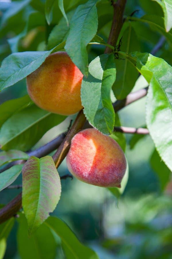 Melocotones jugosos maduros en una rama de árbol en día de verano soleado imagen de archivo