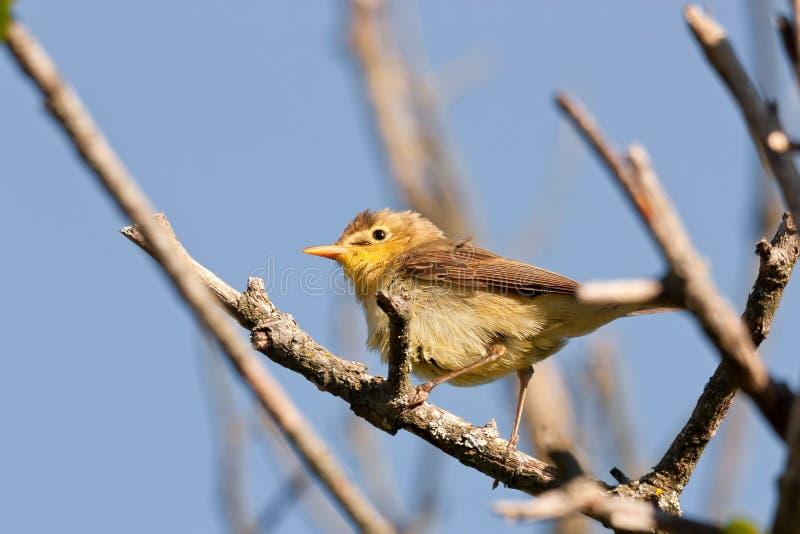 Download Melodious Warbler (Hippolais Polyglotta) Stock Photo - Image: 20395988