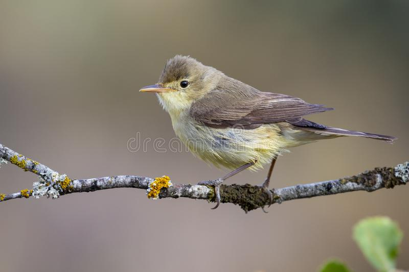 Melodious Warbler Hippolais polyglotta, perched on a branch on a blurred background.  stock images
