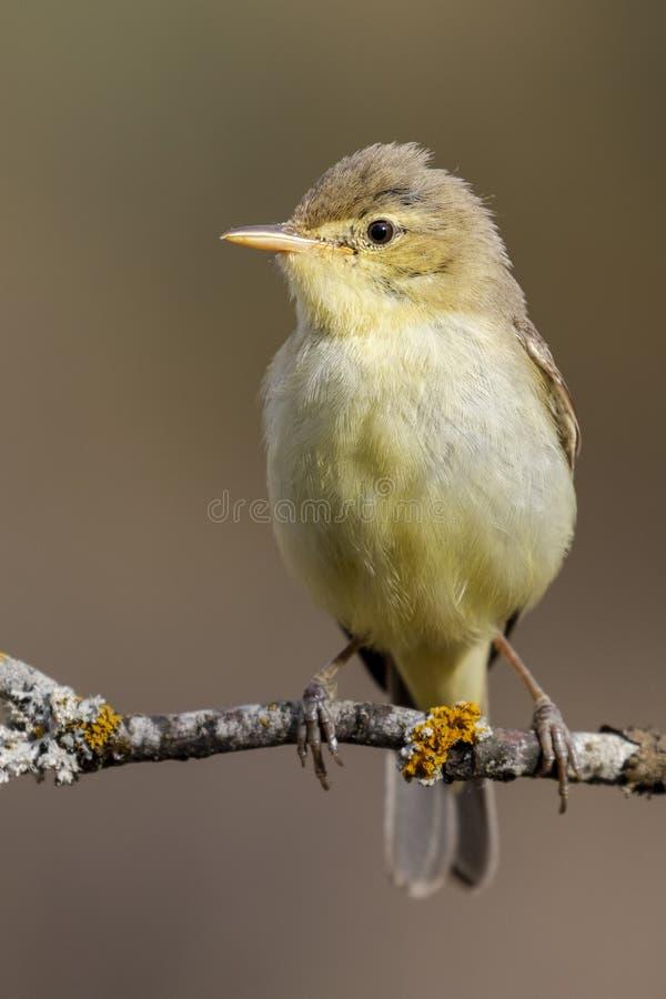 Melodious Warbler Hippolais polyglotta vertical photo.  royalty free stock image