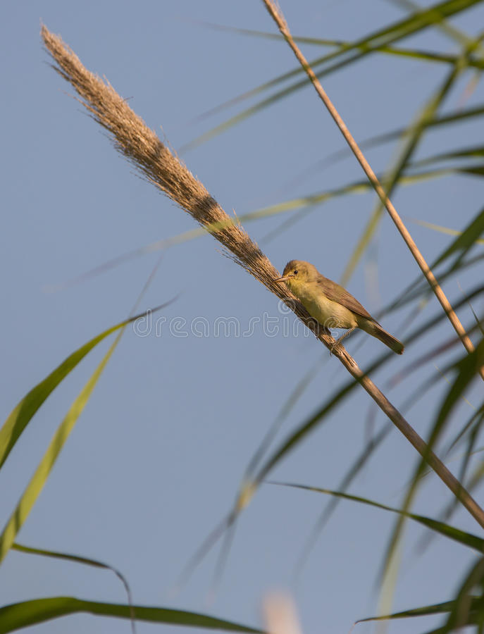 Melodious warbler on reed. A Melodious Warbler (Hippolais polyglotta) perches on a vertical cane and proclaims it's territory under the early morning sun stock images