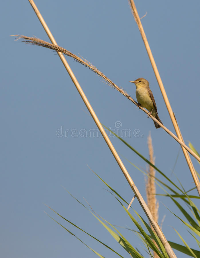 Melodious warbler on reed. A Melodious Warbler (Hippolais polyglotta) perches on a vertical cane and proclaims it's territory under the early morning sun royalty free stock images