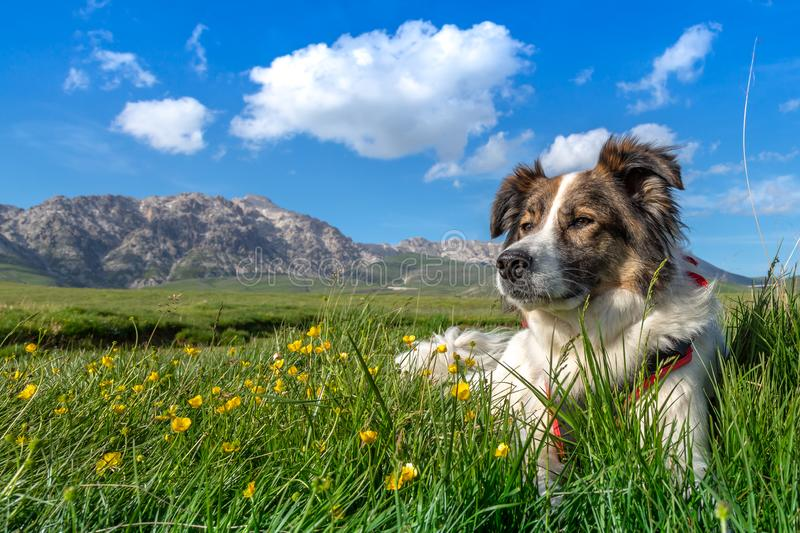 Melody the dog and the mountain flowers. At Gran Sasso d`Italia, Appennino Centrale stock photography